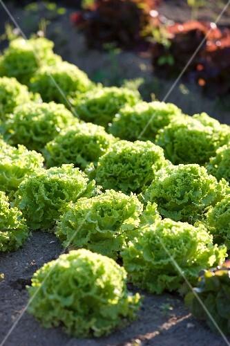 Batavia lettuce in a field