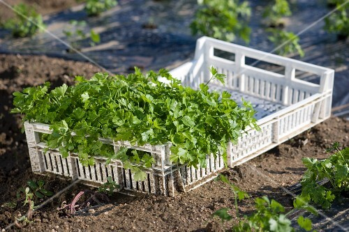 Fresh parsley in a crate on a flower bed
