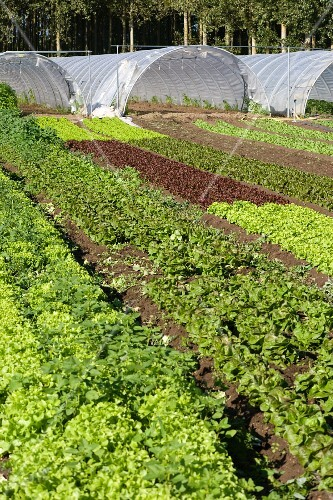 Green houses in a salad field