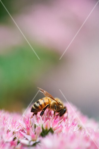 Honeybee Gathering Pollen on Flower Head