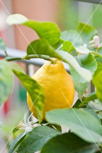 Lemon on the tree