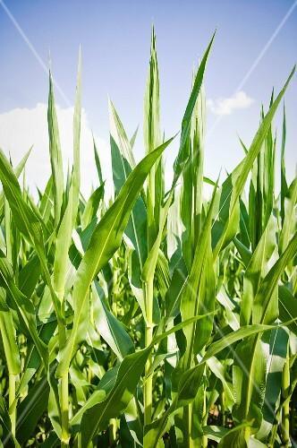 A cornfield in the sunlight