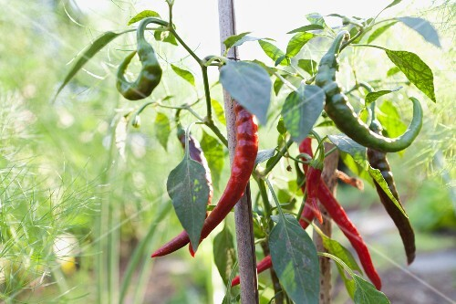 Chillies on the plant