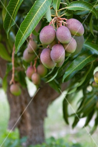 Fruit on a mango tree (South Africa)
