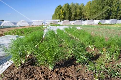 A field of fennel