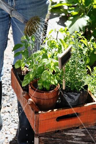 Woman watering herbs in plant pots