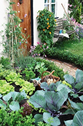 Vegetable patch in front garden of house