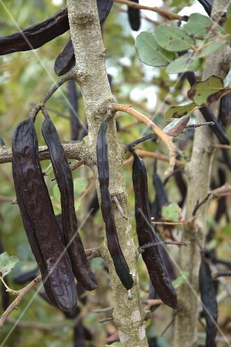 Carob pods hanging in a tree
