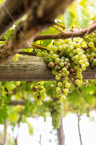 White wine grapes, Amalfi coast, Italy