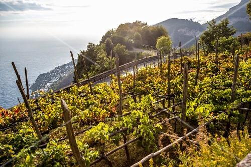 Grape cultivation, Amalfi coast, Italy