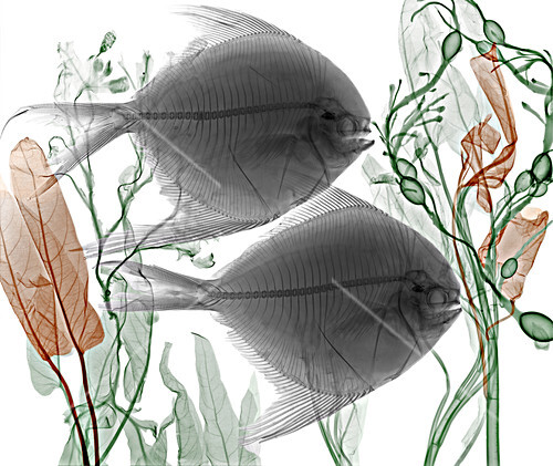 Pomfret fish and aquatic plants,X-ray