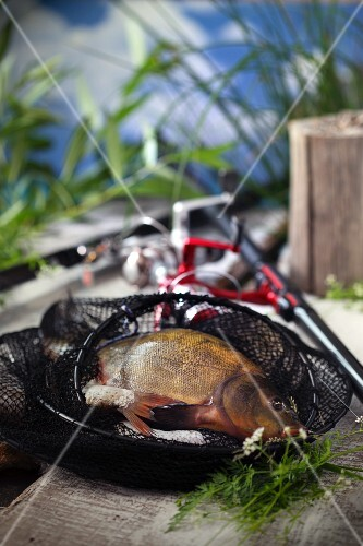 Freshly caught freshwater fish in a net