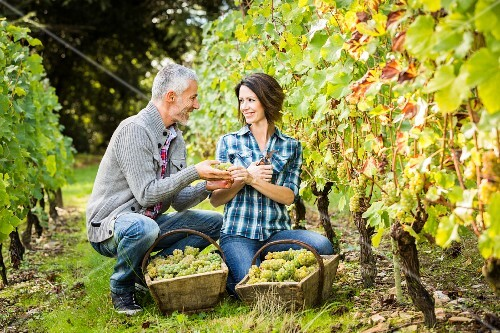 A man and woman picking grapes in a vineyard