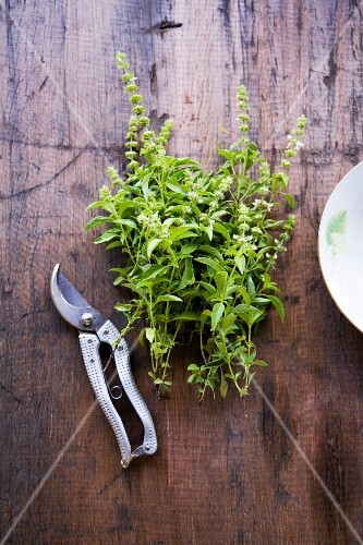Lemon basil and a pair of herb scissors