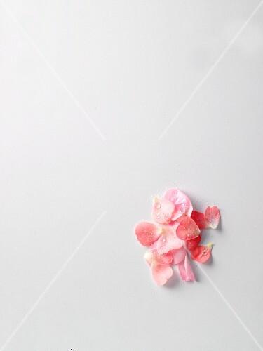 Rose petals with dewdrops