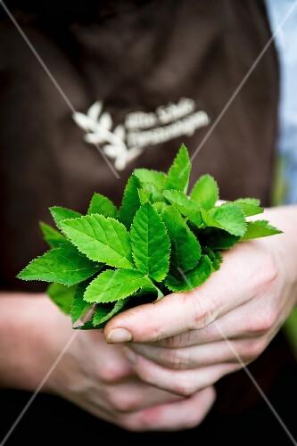 A man holding fresh bishopsweed
