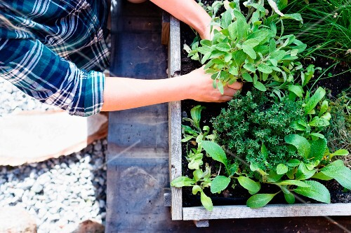 Woman planting herbs in herb garden