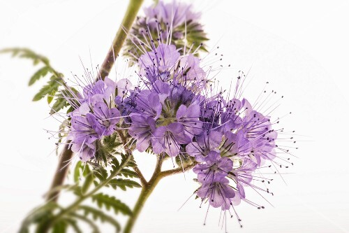 Flowering phacelia on a white surface