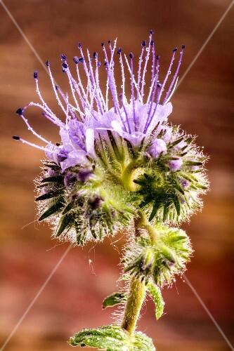 A close-up of a phacelia flower