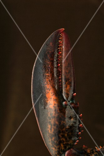 A lobster claw (close-up)