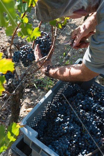 Grapes being harvested at the Beauregard vineyard in Pomerol, France