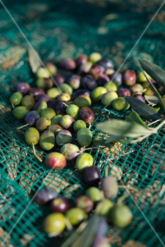 Olives in a harvesting net