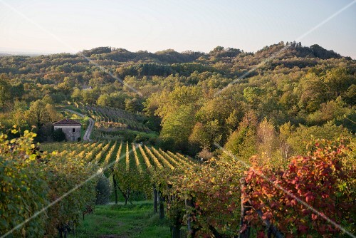 A vineyard in the early morning light