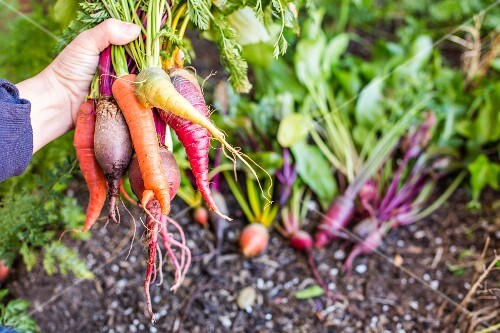 A hand holding a selection of different root vegetables from a garden