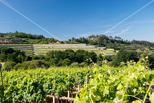 Coto de Gomariz, vineyards with walls and terraces