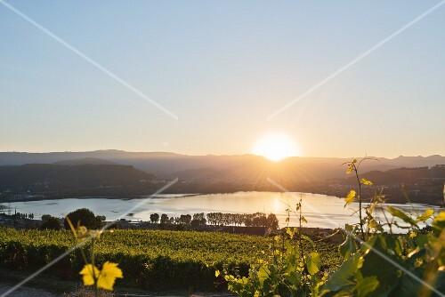 Sunset in the Minõ valley, vineyards belonging to the Eduardo Peña winery