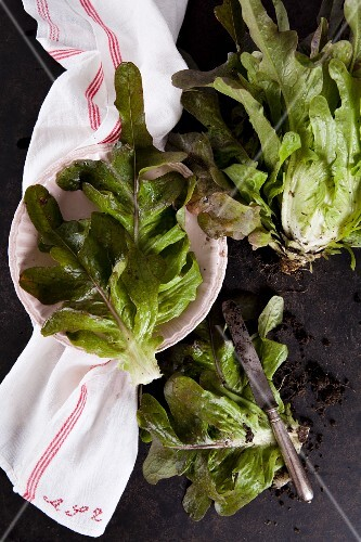 A freshly harvested lettuce and leaves on a tea towel