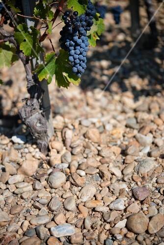 A Cabernet-Sauvignon vine on gravel in Medoc