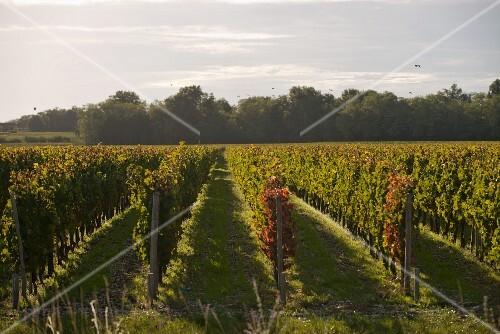 Vines at Château Margaux, Bordeaux, France