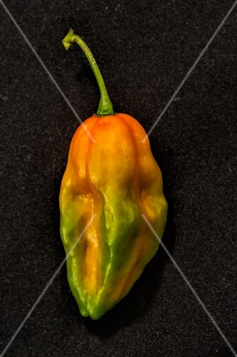 A Bhut Jolokia chilli (very spicy chilli pepper)