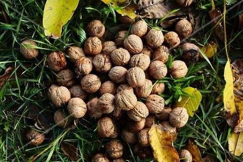 Fresh walnuts in a meadow