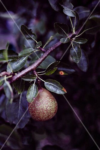 A pear on a sprig