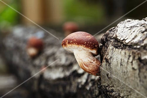 A shiitake mushroom growing on a tree trunk (Lentinula Edodes)