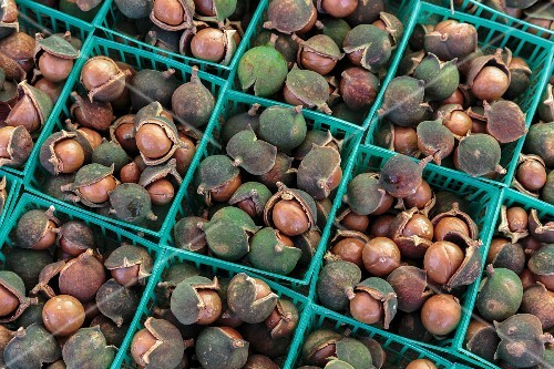 Punnets of macadamia nuts in their shells at a market in San Diego, USA