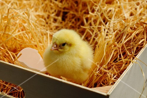 A chick and an eggshell in a wooden crate lined with wood shavings
