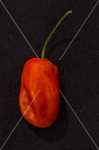 A Caribbean Red chilli pepper