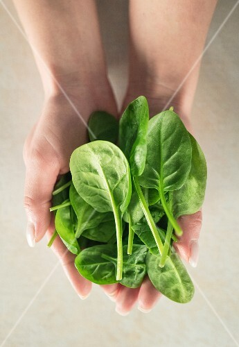 Hands holding fresh spinach leaves