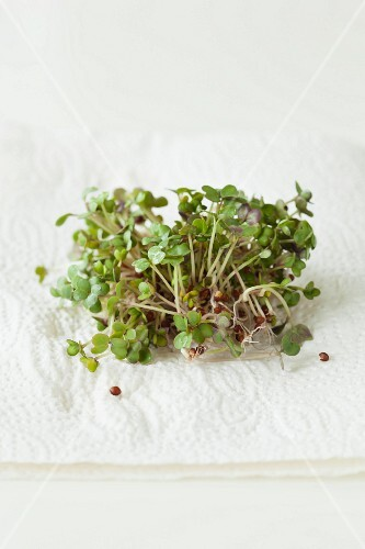 Mustard sprouts on a paper towel