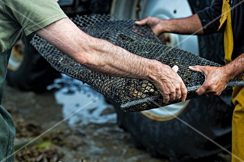 Hands holding a wire basket full of oysters