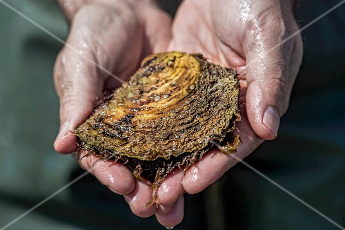 Hands holding a fresh oyster