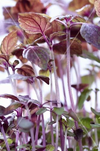 Purple shiso cress