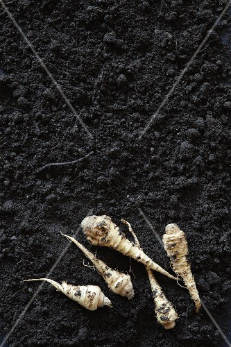 Parsley roots on soil (seen from above)