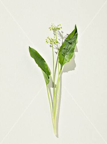 Wild garlic: leaves and flowers on a white surface