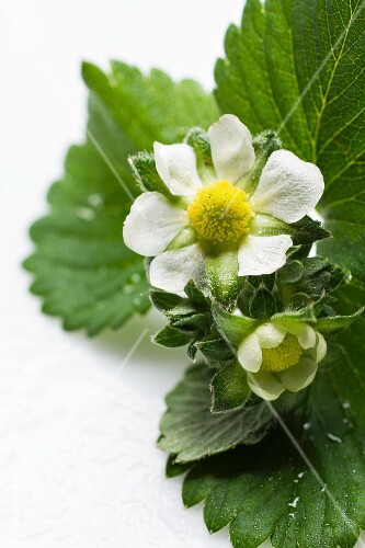 A strawberry plant with flowers (close-up)
