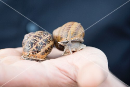 Two living edible snails moving on a hand