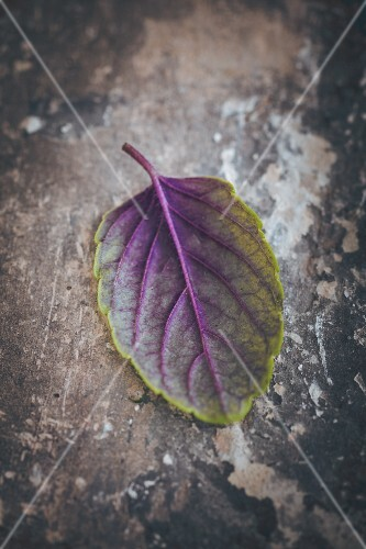A purple basil leaf